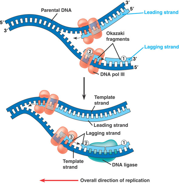 mismatch repair mmr pathways and deficiencies The dna mismatch repair pathway (mmr) is involved in repair of base–base mismatches and insertion/deletion loops that occur during dna replication.